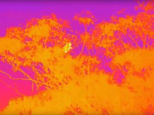 Thermal image of Koala in a tree